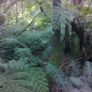 Tree ferns in Millwood Forest