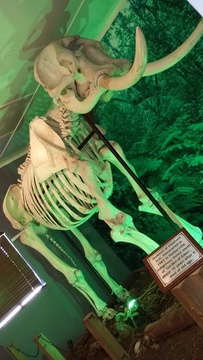 Elephant skeleton in the Diepwalle Forest Station museum